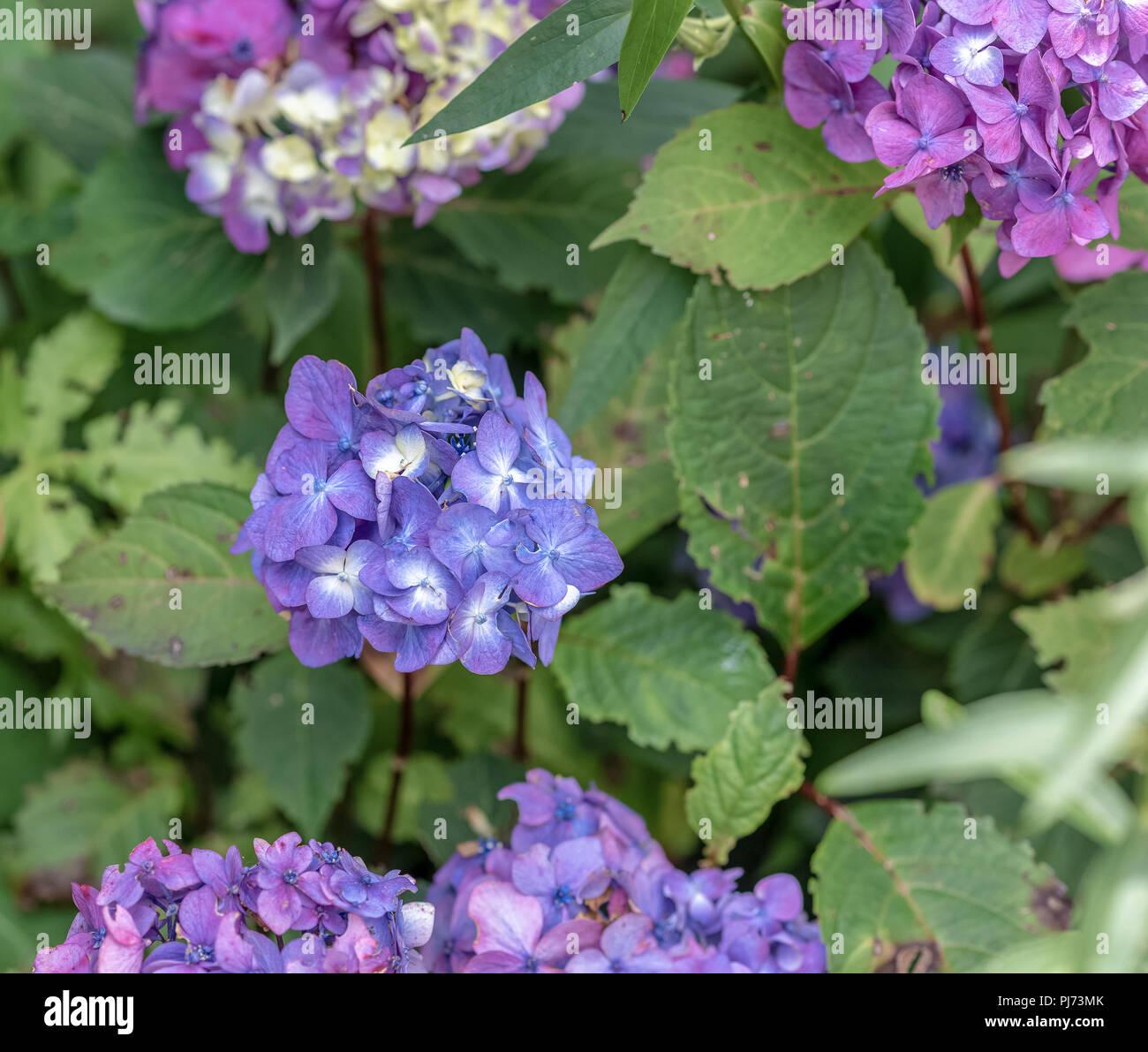 Color Outdoor Floral Macro Of A Violet Blue Hydrangeahortensia - Color-hortensia