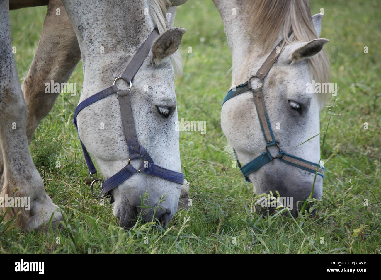 Percheron draft horse at Wagner Farm in suburban Glenview, Illinois on a summer day. - Stock Image