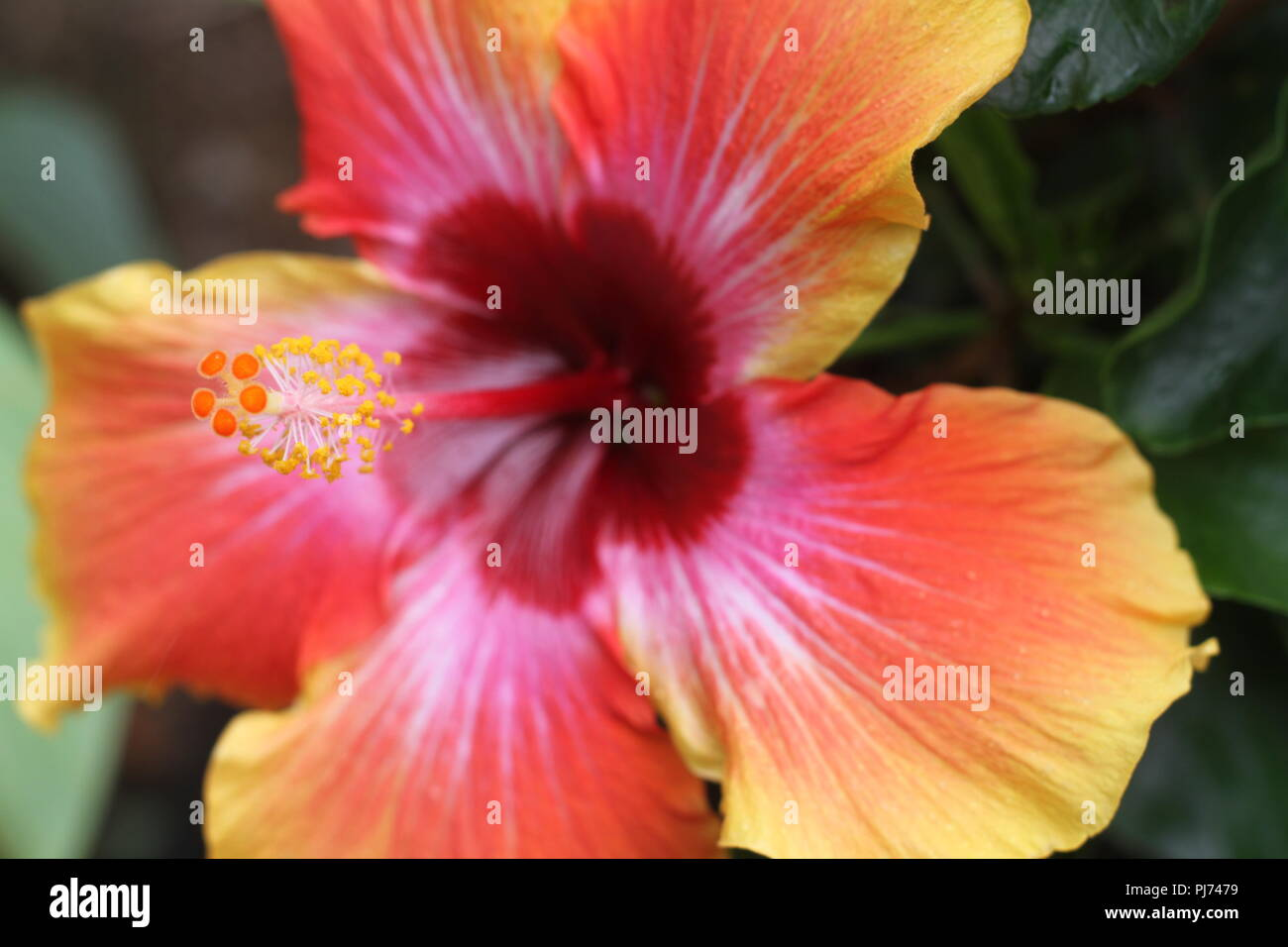 Close Up Of Colorful Hibiscus Flower Or Rose Mallow And Red Calyces