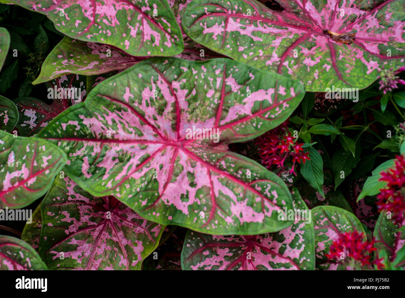 Elephant Ear Plants High Resolution Stock Photography And Images Alamy