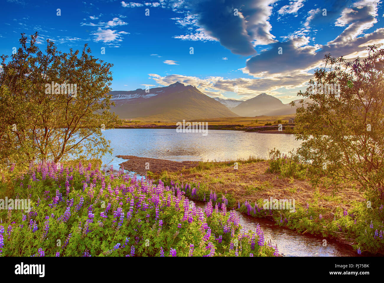 Lupine flowers in Iceland - Stock Image