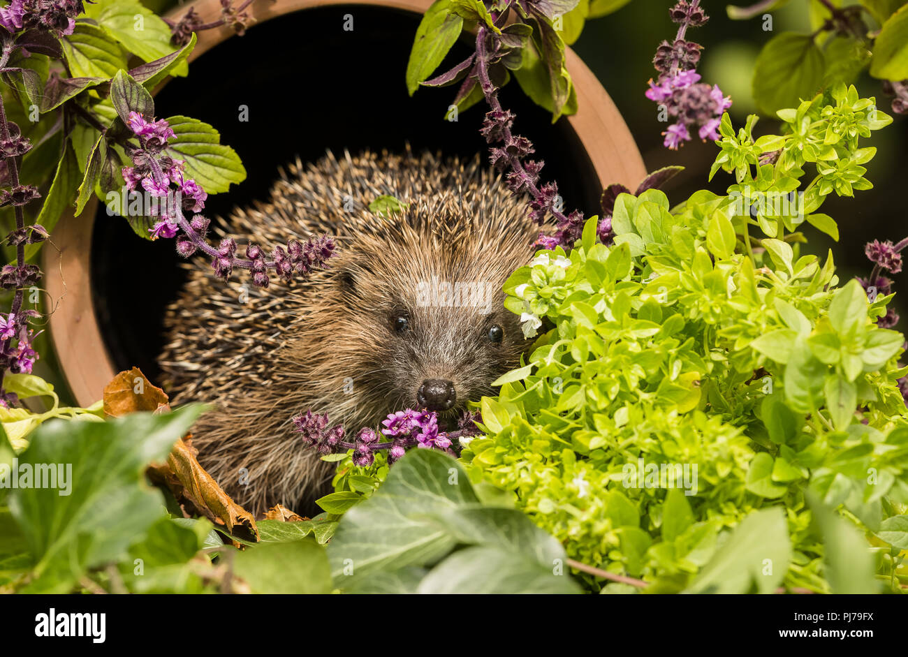 Hedgehog, native, wild, European hedgehog in colourful herb garden.  Facing forward and sat inside a clay drainage pipe surrounded by wild thyme. - Stock Image
