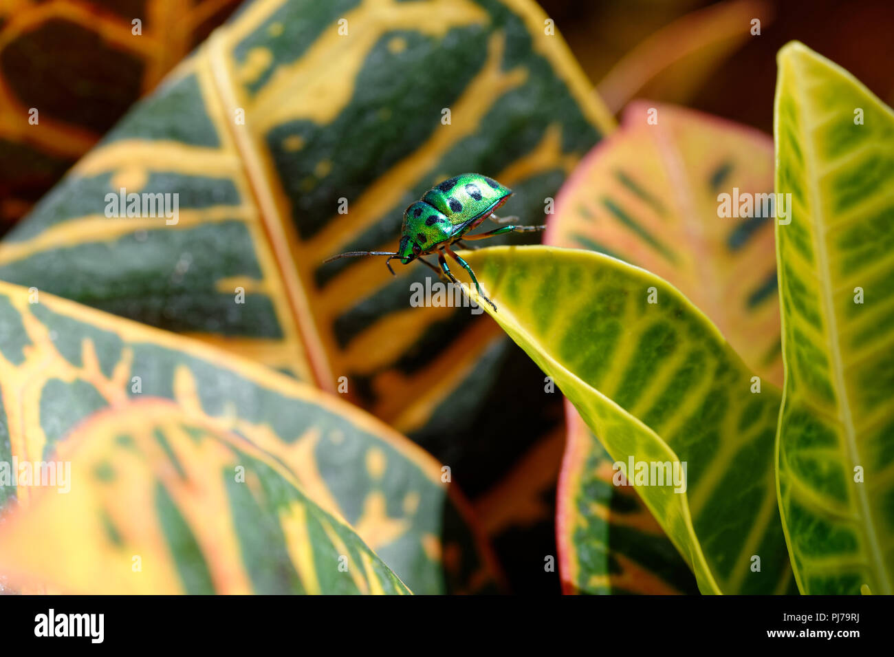 Jewel Beetle taking the plunge off Croton leaf, actually cleaning hind legs - Stock Image