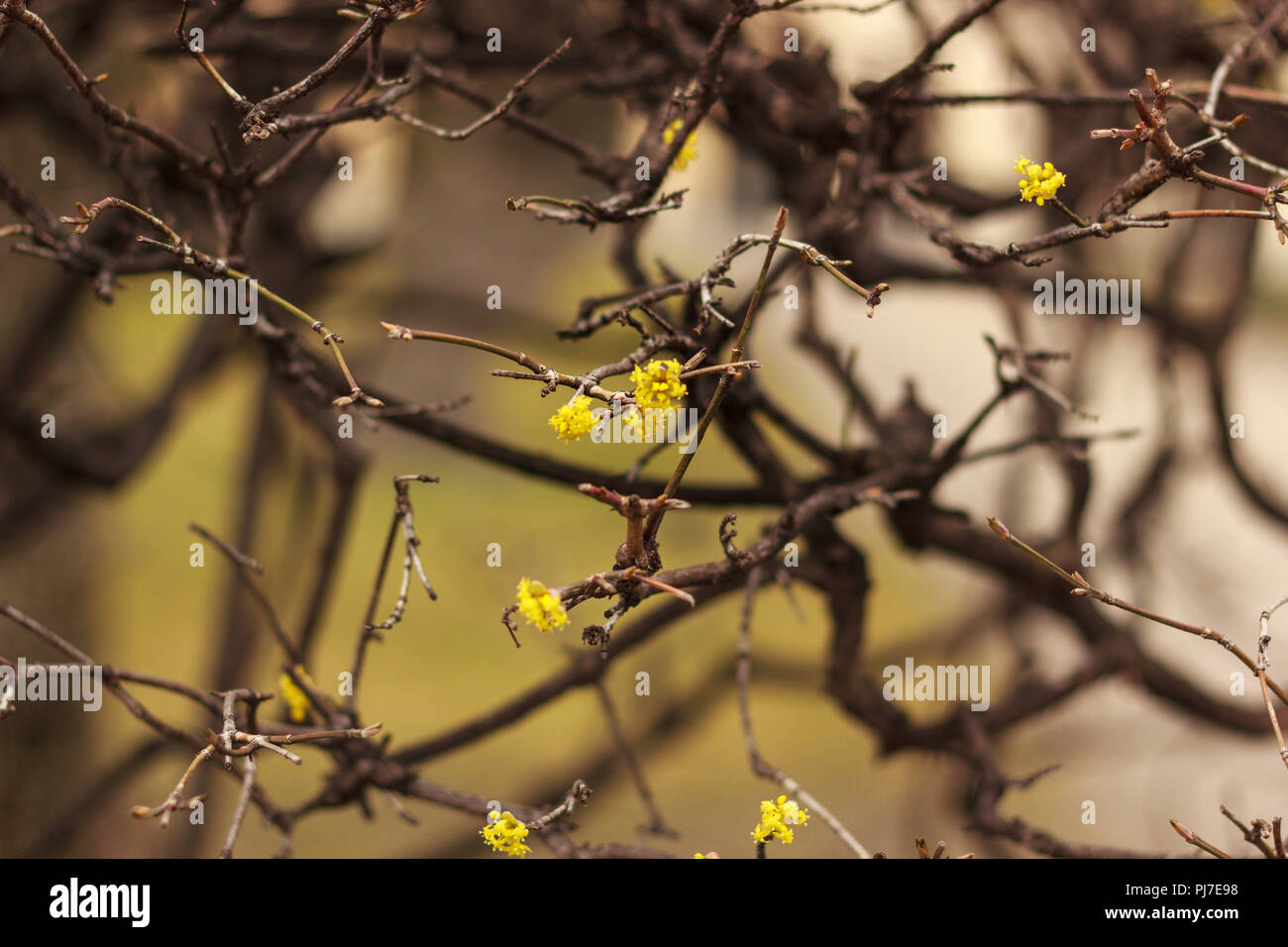 Tiny Yellow flower in leave less plant - Stock Image