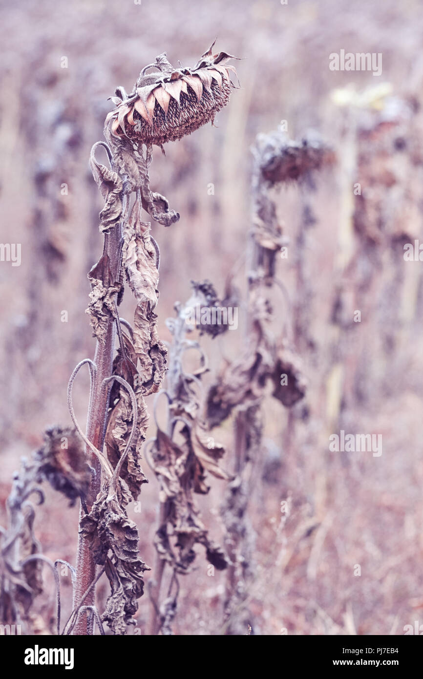 Withered sunflowers heads down, selective focus, color toning applied. - Stock Image