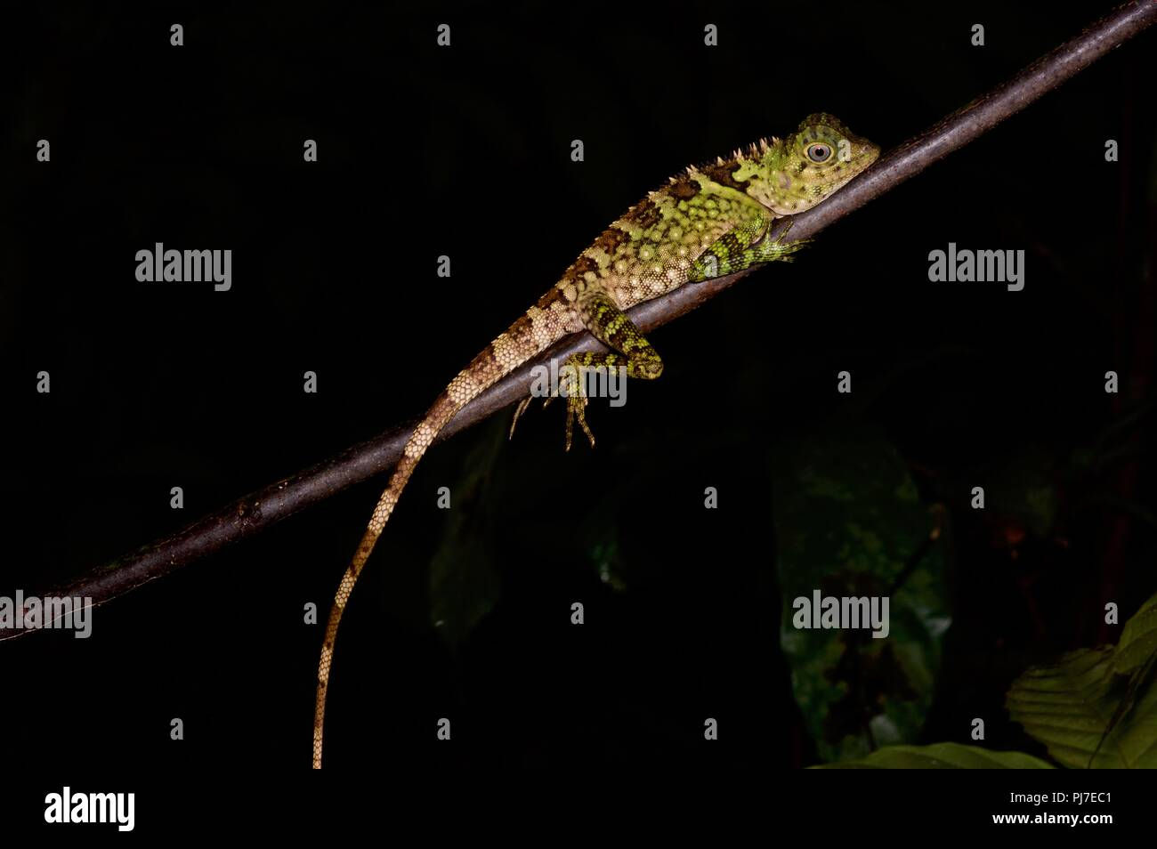 A Blue-eyed Angle-headed Lizard (Gonocephalus liogaster) resting at night in Gunung Gading National Park, Sarawak, East Malaysia, Borneo - Stock Image