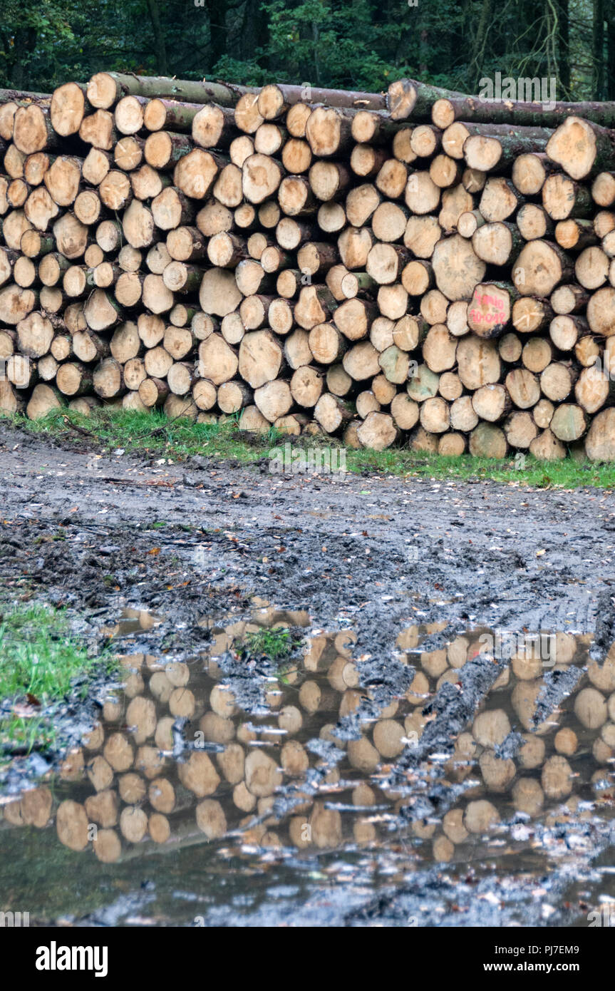Chopped pine logs in the Ardennes forest of northern France - Stock Image