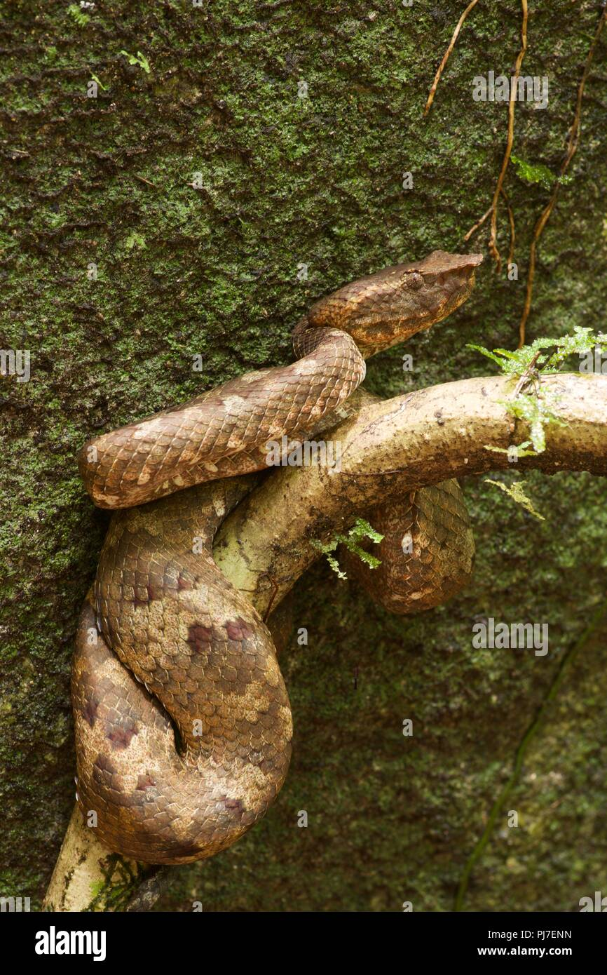 A Bornean Pit Viper (Trimeresurus borneensis) resting by day in the rainforest of Gunung Gading National Park, Sarawak, East Malaysia, Borneo - Stock Image