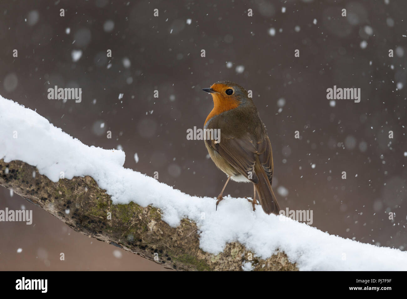 Robin; Erithacus rubecula Single in Snow Cornwall; UK - Stock Image