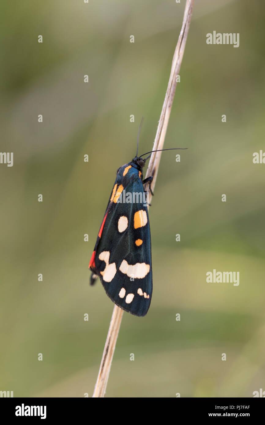 Scarlet Tiger Moth; Callimorpha dominula Cornwall; UK - Stock Image