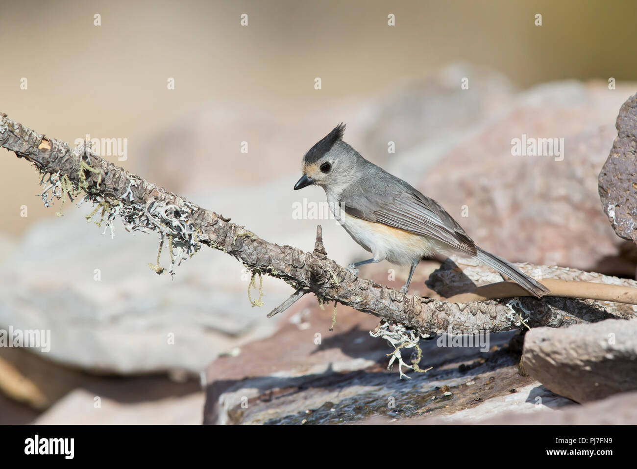 Black-crested Titmouse, Baeolophus atricristatus Stock Photo