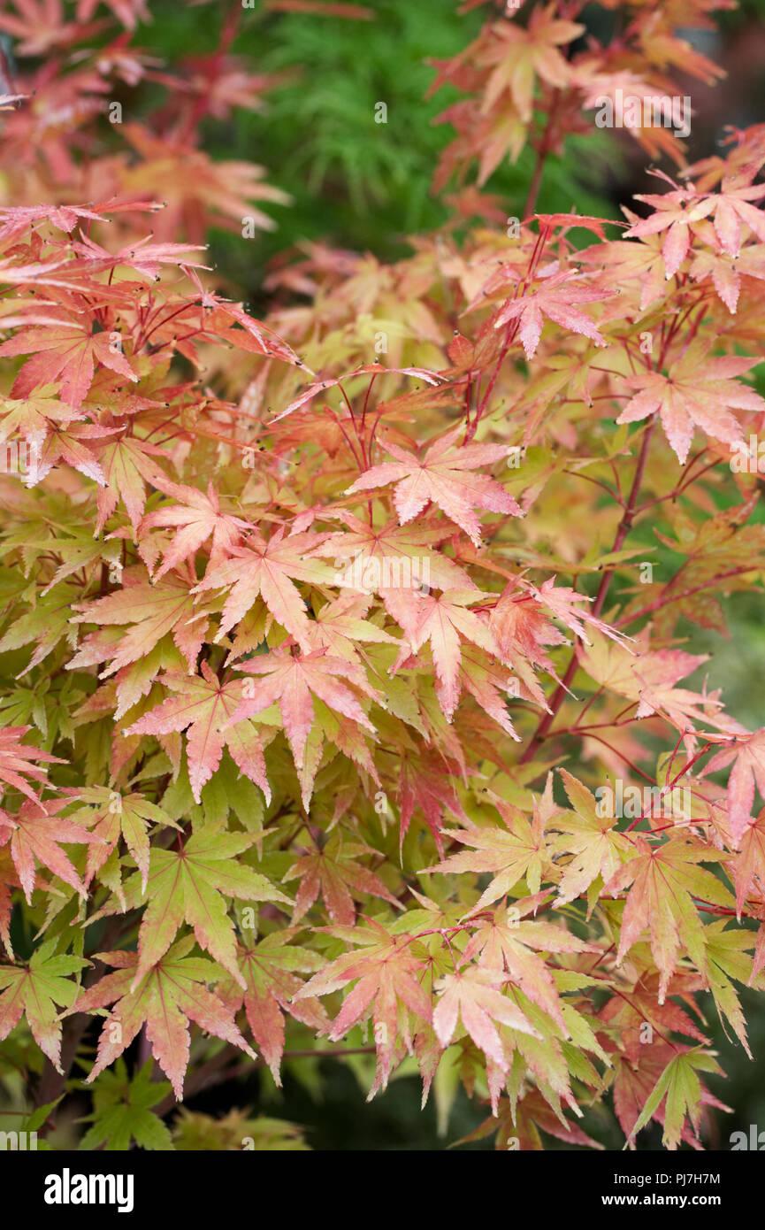 Acer palmatum 'Sango-kaku'. Acer tree in late Summer. - Stock Image
