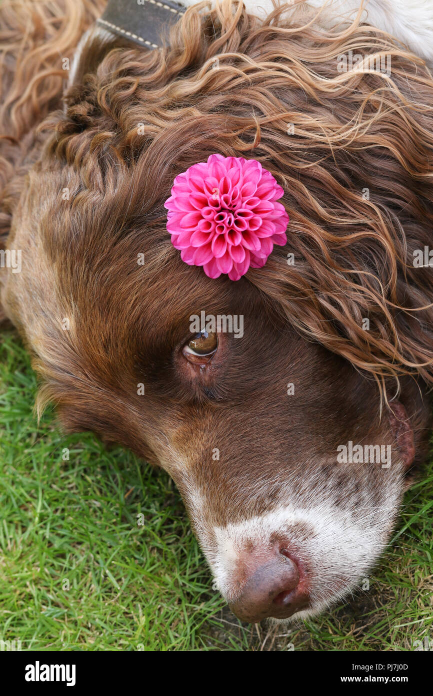 A head shot of a cute English Springer Spaniel Dog (Canis lupus familiaris) resting on the grass with a Dahlia flower on its ear. - Stock Image