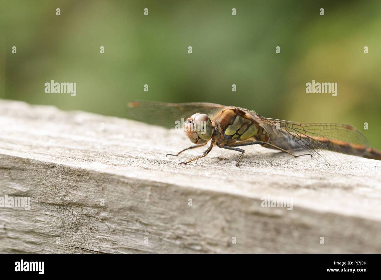A hunting female Common Darter Dragonfly (Sympetrum striolatum) perched on a wooden fence. Stock Photo