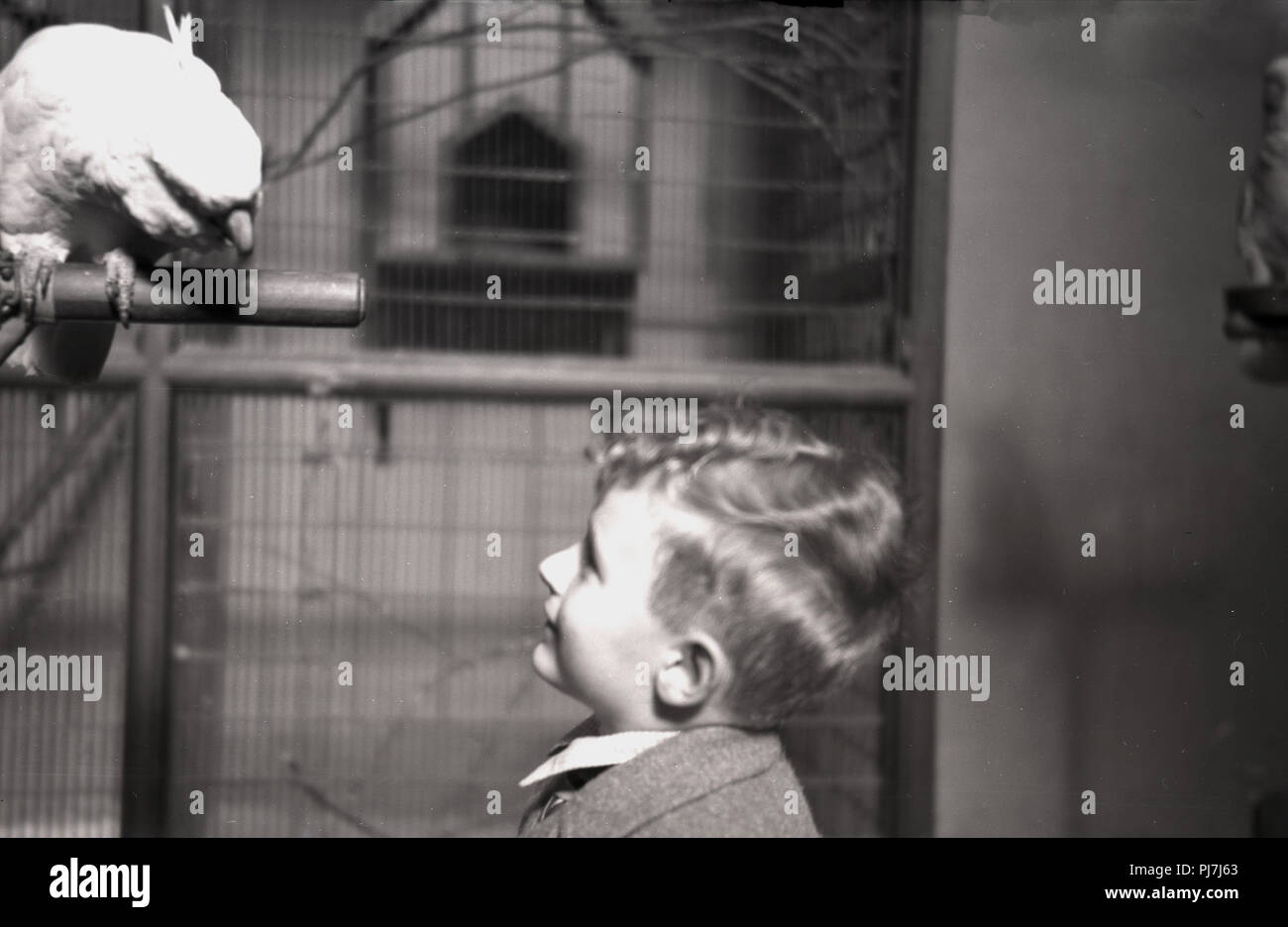 1940s, historical, young boy looking up at a cockatoo sitting on a metal rail in the aviary at Bristol Zoo, Bristol, England, UK. The zoo, opened in 1836, is the world's oldest provincial zoo. Stock Photo