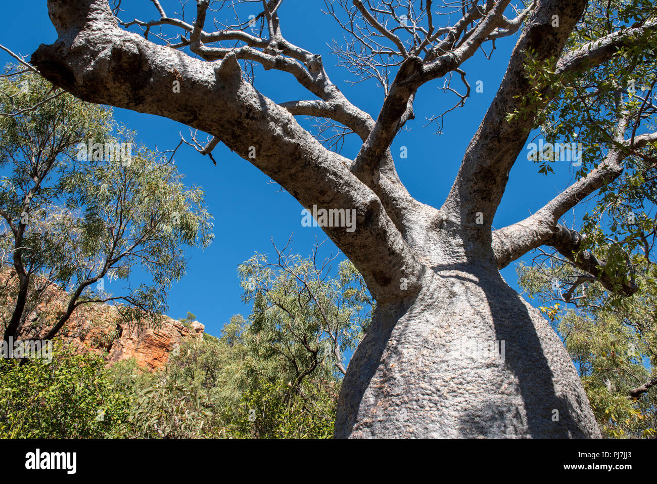 Australia, Western Australia, Doubtful Bay, Raft Point. Typical old boab trees. - Stock Image
