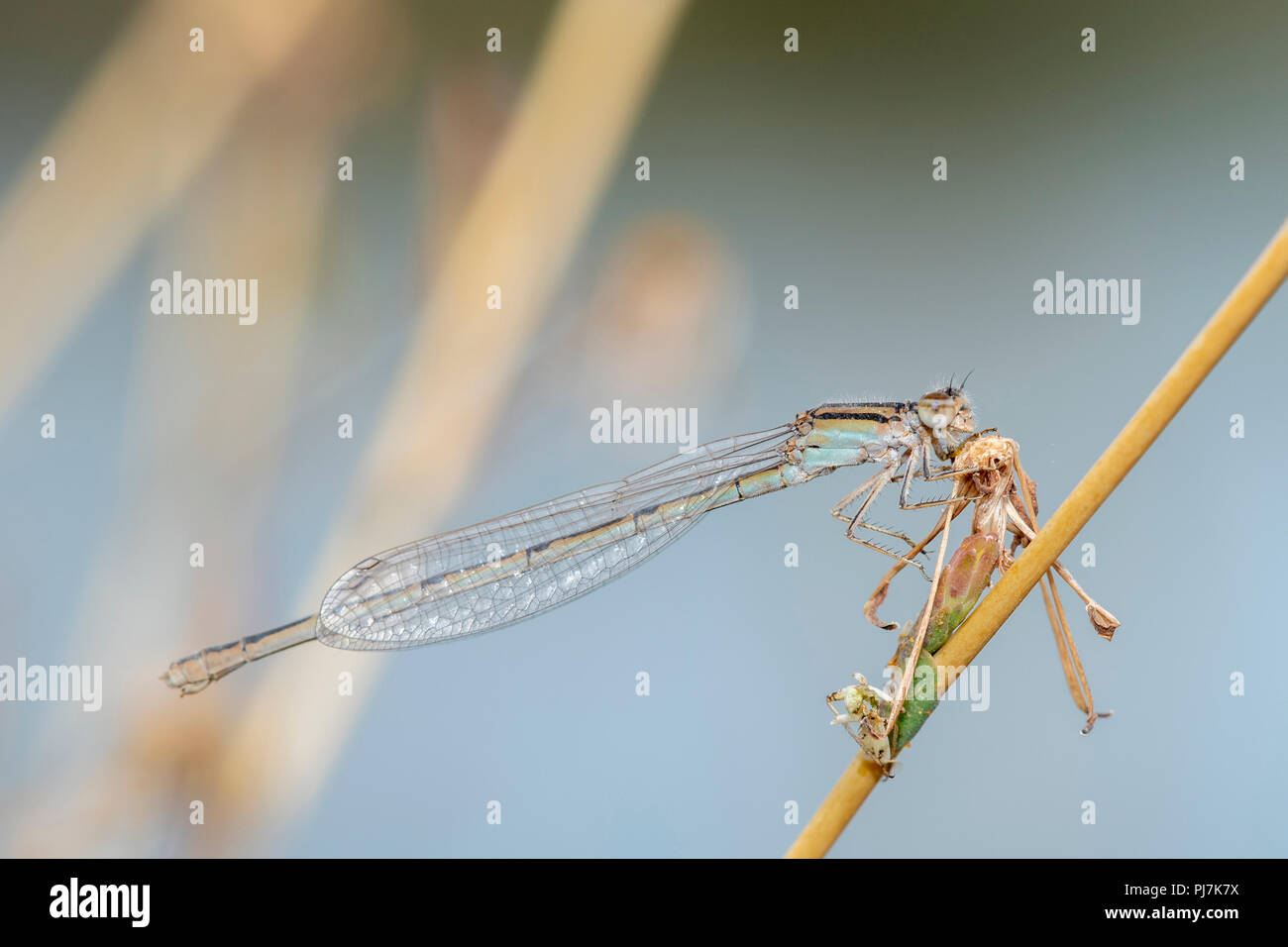 Macro of a Familiar Bluet Damselfly (Enallagma civile) Holding onto a Dried Stalk on the Plains of Eastern Colorado - Stock Image