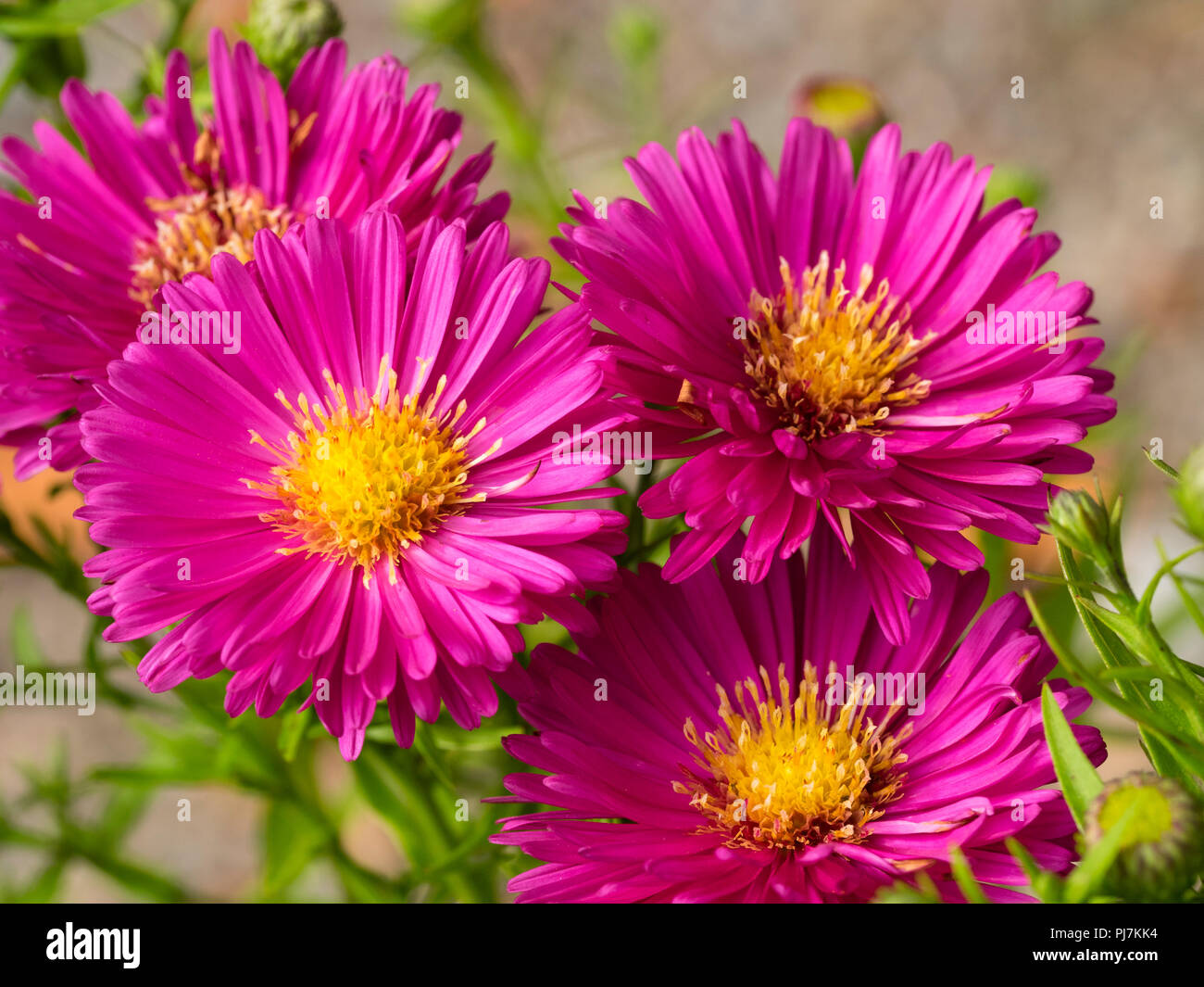 Bright pink, yellow centred flowers of the Autumn blooming Michaelmas daisy, Aster Autumn Jewels 'Granat' - Stock Image