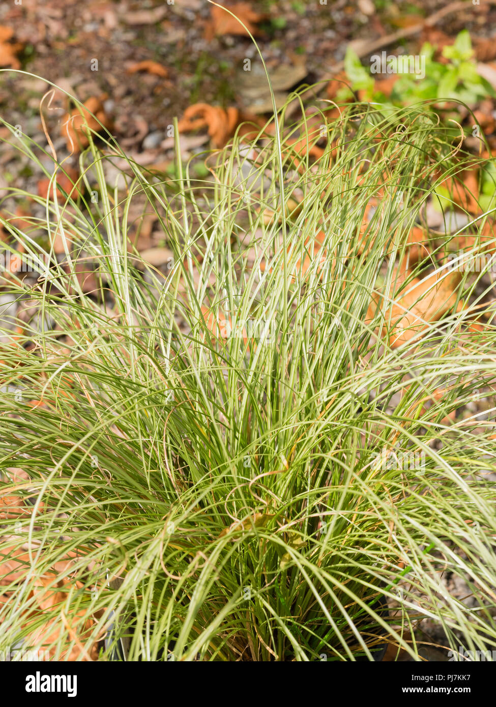 Mounding habit and silvery green, grass like foliage of the hardy sedge, Carex comans 'Frosted Curls' - Stock Image