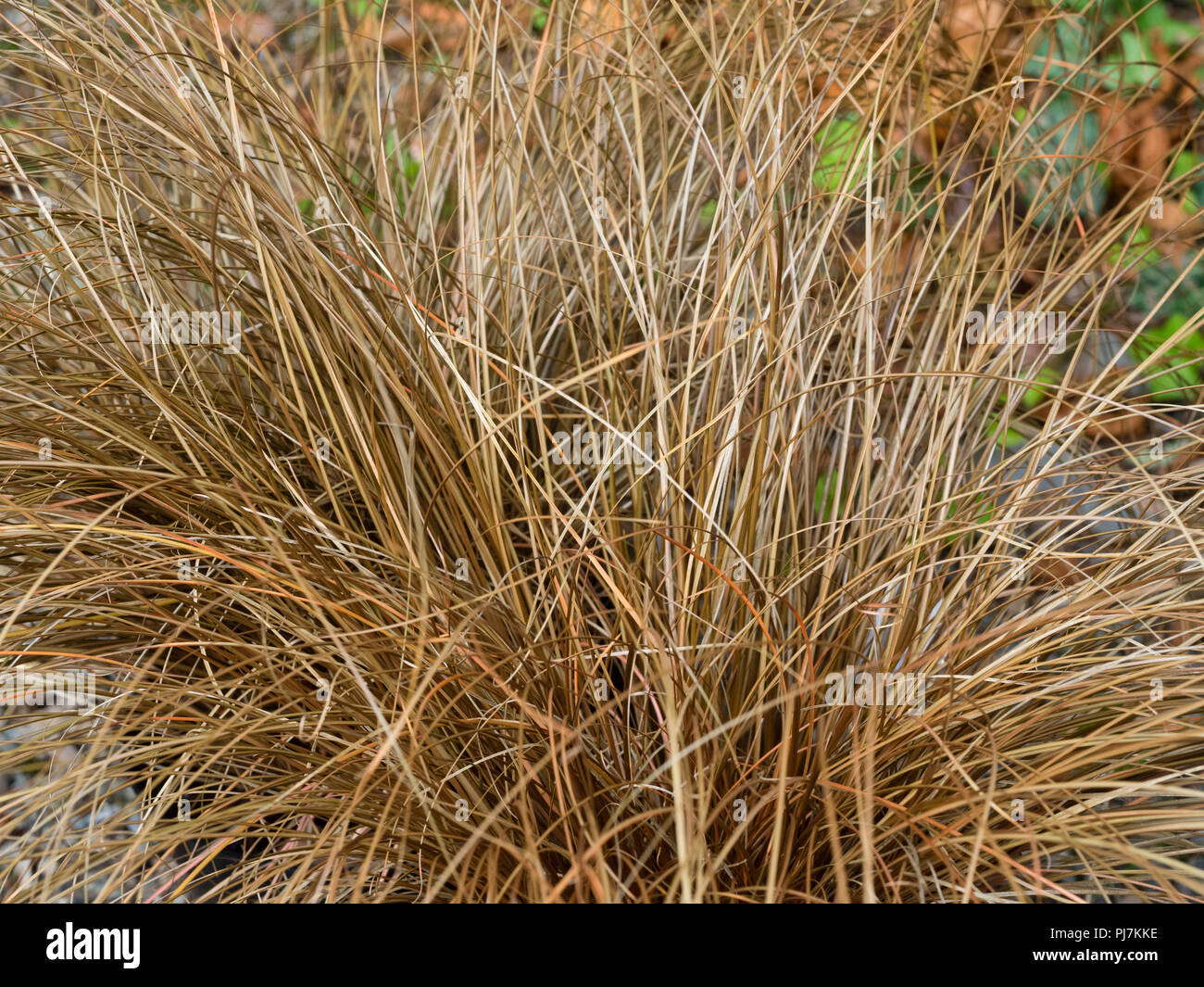 Narrow bronze foliage of the evergreen, mound forming, weeping brown sedge, Carex flagellifera - Stock Image