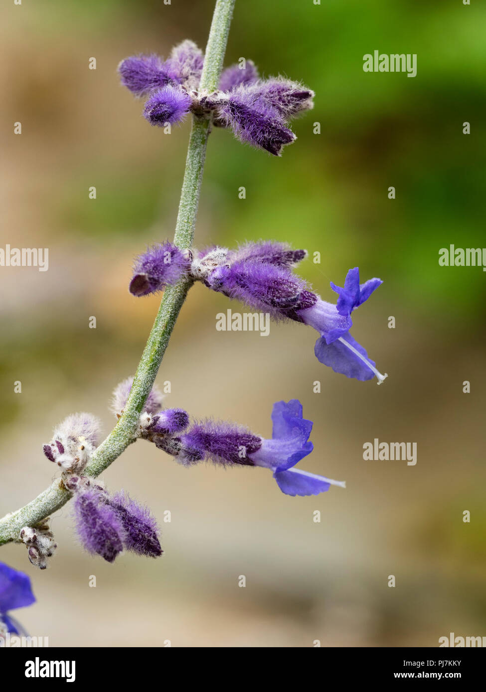 Close up of the late summer blue flowers of the Russian sage, Perovskia atriplicifolia 'Blue Spire' - Stock Image