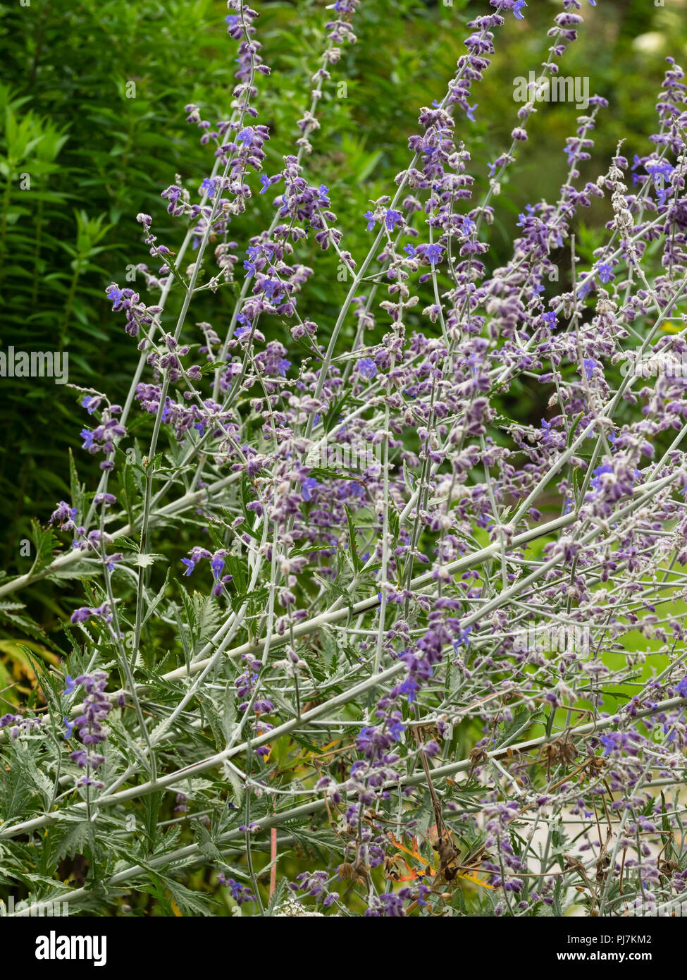 Airy, tangled stems bearing late summer blue flowers of the Russian sage, Perovskia atriplicifolia 'Blue Spire' - Stock Image