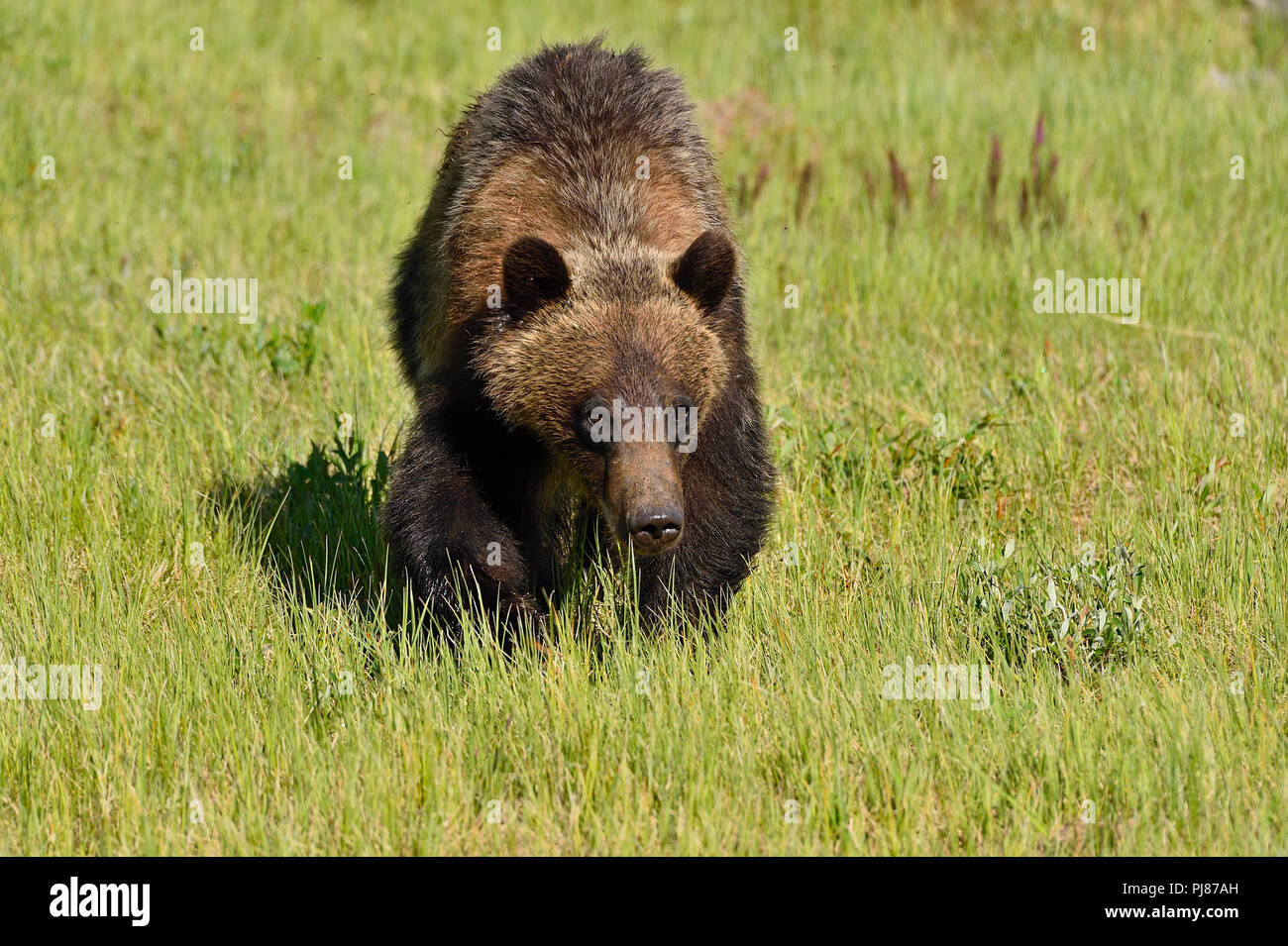 A landscape image of a young grizzly bear  Ursus arctos; walking forward with his head down through the green meadow in rural Alberta Canada. - Stock Image