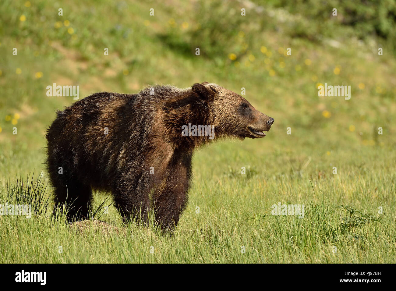 A juvenile Grizzly Bear Ursus arctos; standing in  an open meadow in rural Alberta Canada looking away. - Stock Image