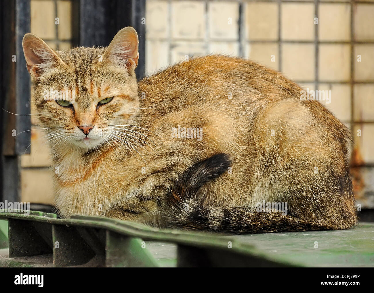 A cat living in the city in the basement of a multistory residential building. A street cat. - Stock Image