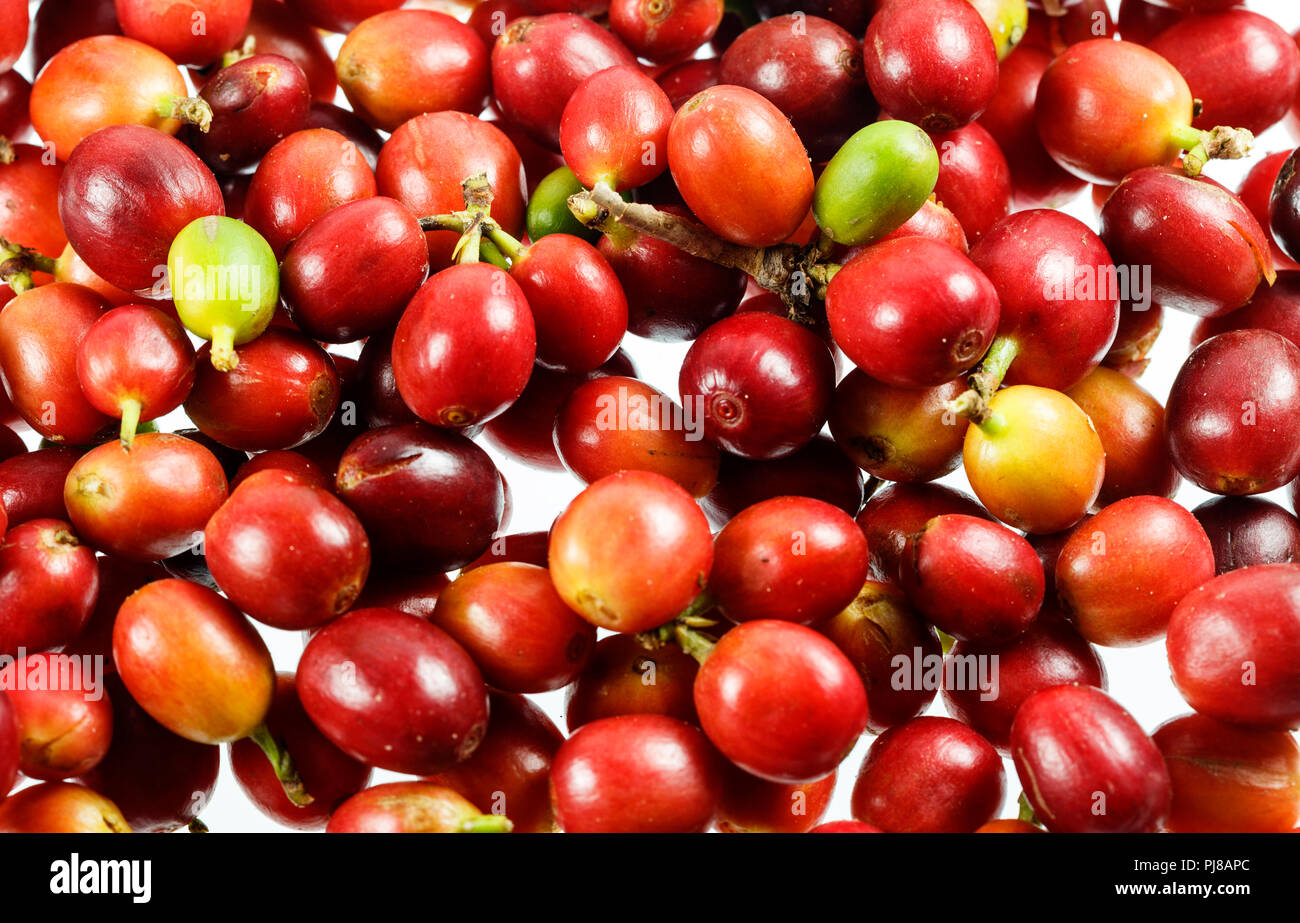 Ripe handpicked coffee cherries fruit ready for processing. Stock Photo
