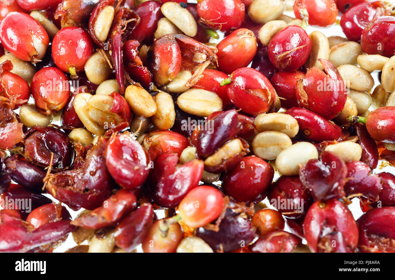 Coffee cherries crushed to separate the seeds from the flesh Stock Photo
