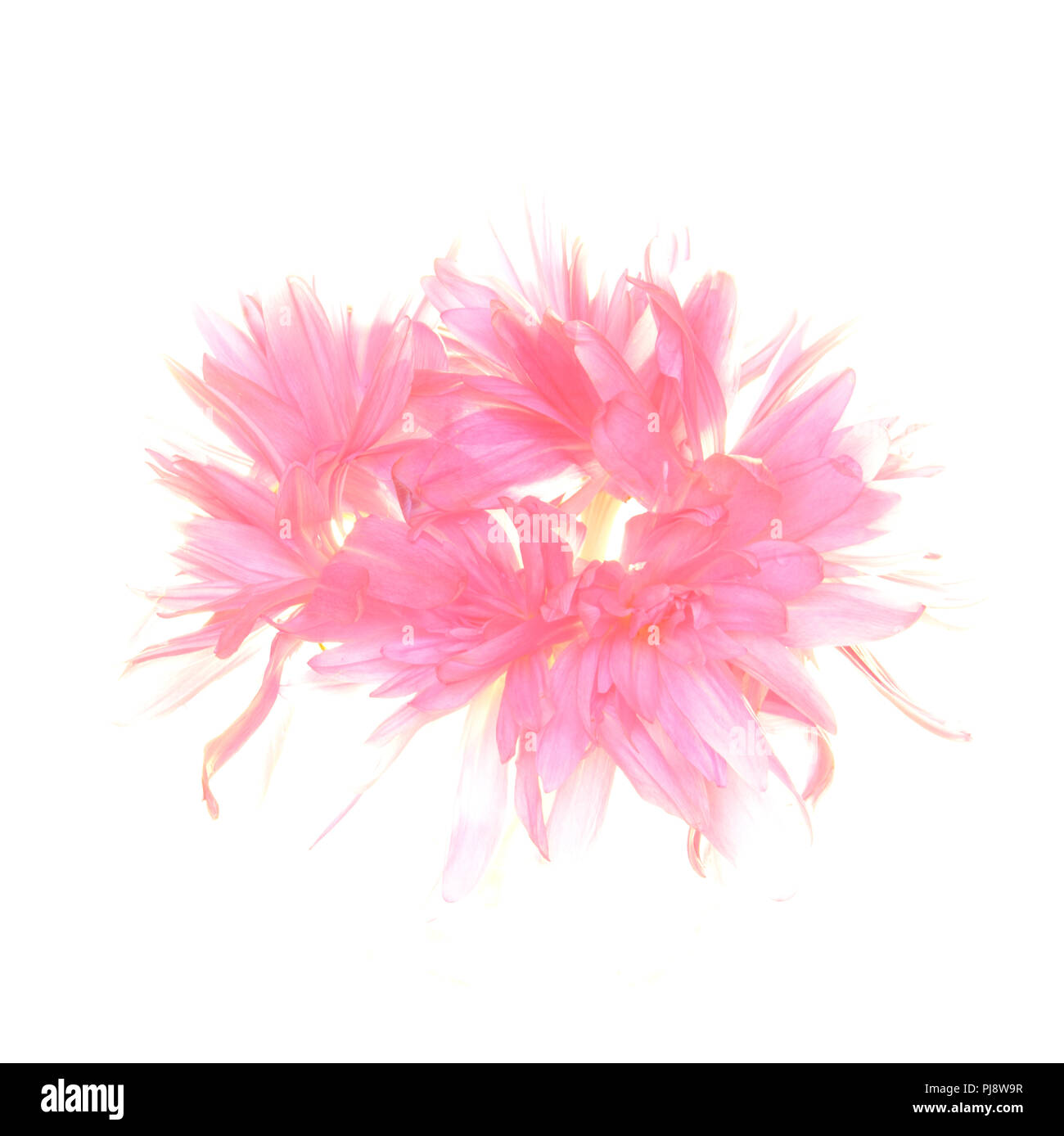 A Ring Of Pink Flowers On A White Background Stock Photo 217783715