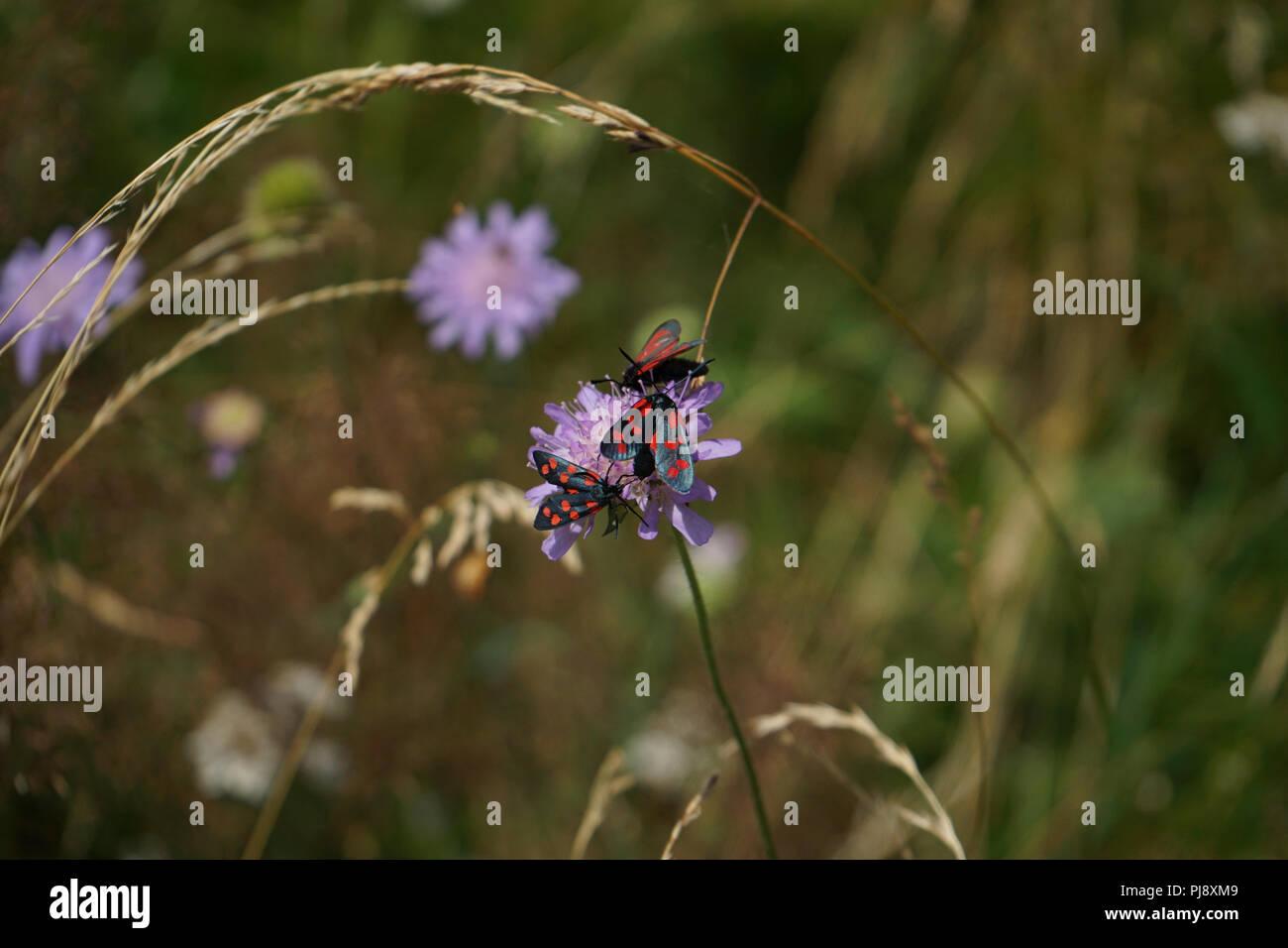 Widderchen, Blutströpfchen oder Zygänen, Schmetterlinge (Zygaenidae) auf Knautie-Blüte, Lesachtal, Gailtaler Alpen, Kärnten, Österreich - Stock Image