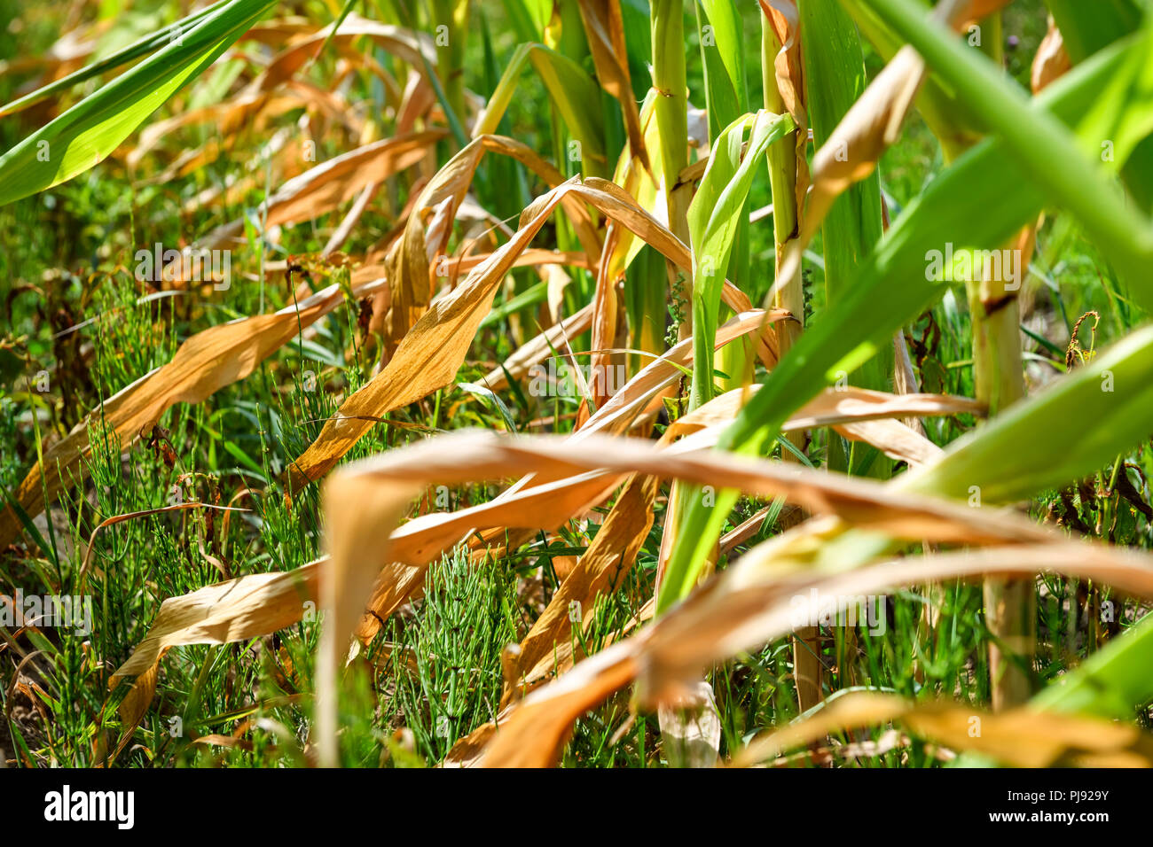 Dried Sheets Of Maize Plants On A Field In Hamburg Symbolic Photo
