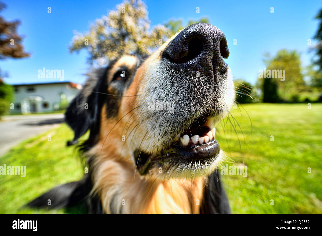 Dog nose of an American-Collie-Retriever-Mischlings, Hundenase eines American-Collie-Retriever-Mischlings - Stock Image