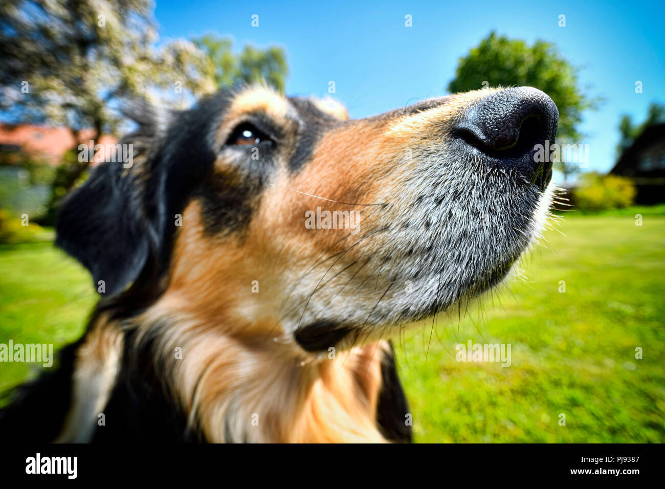 Dog, American-Collie-Retriever-Mischling, Hund Stock Photo