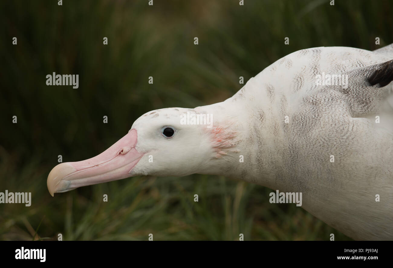 A beautifully marked female Wandering Albatross (Diomedia exulans) on Bird Island, South Georgia - Stock Image