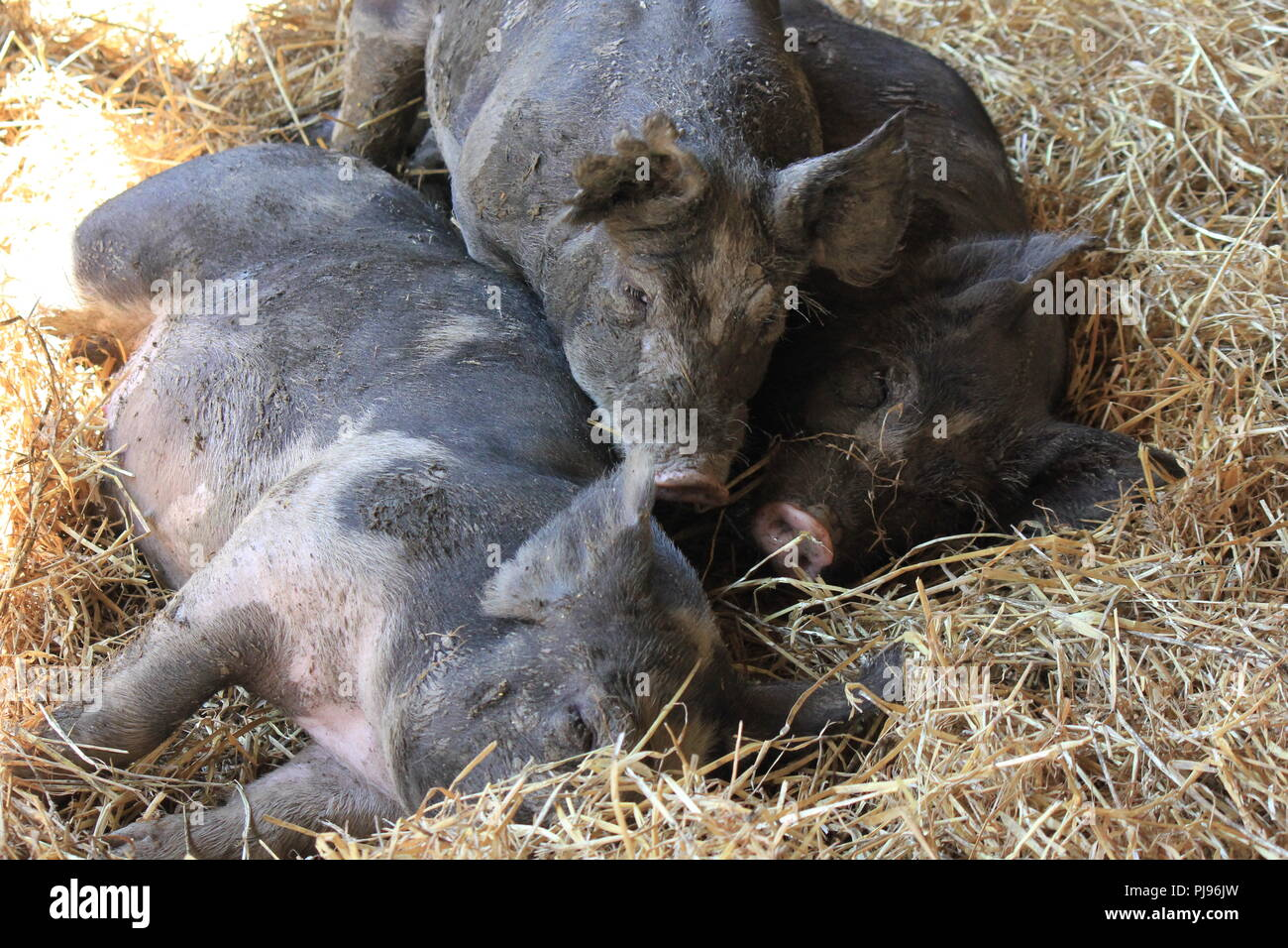 Pigs sleeping in their pigpen at Wagner Farm in Glenview, Illinois on a hot sunny summer day. - Stock Image