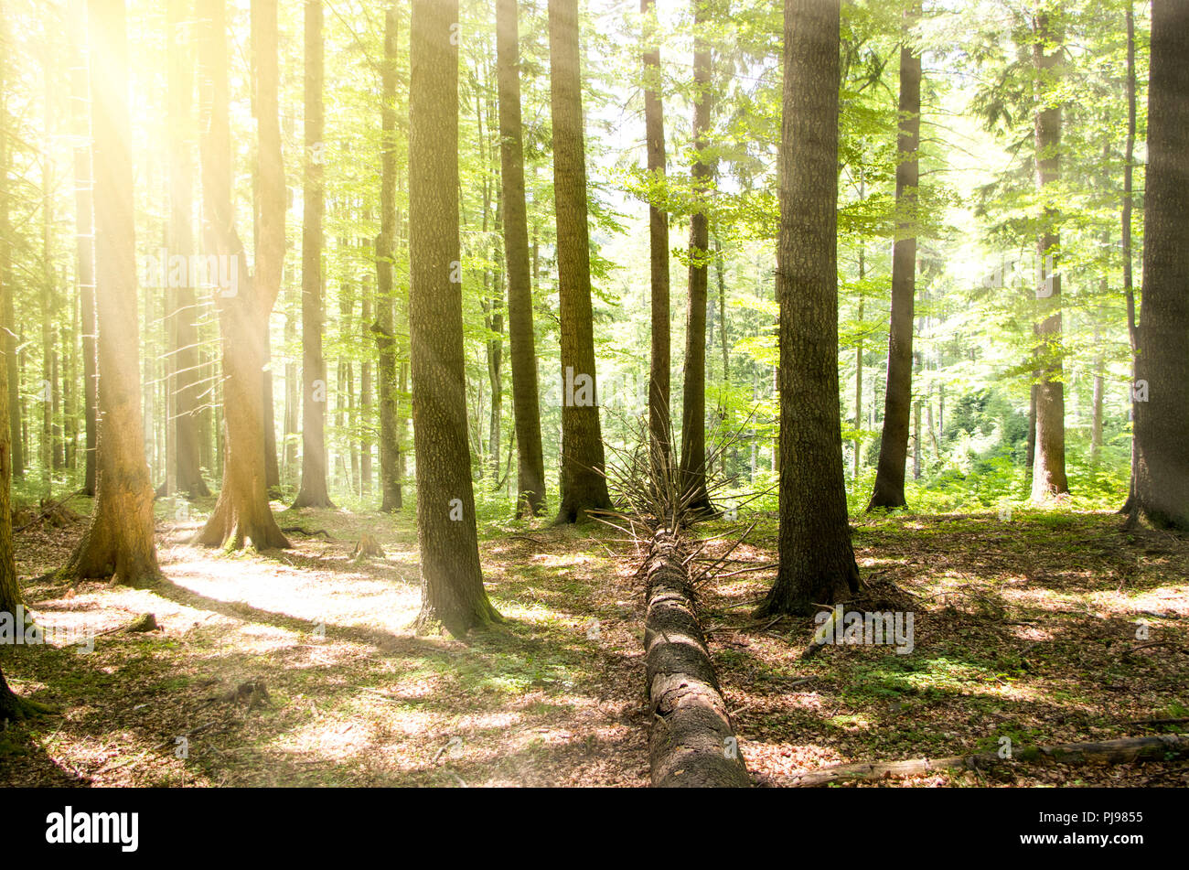 beautiful forest landscape in the morning - Stock Image