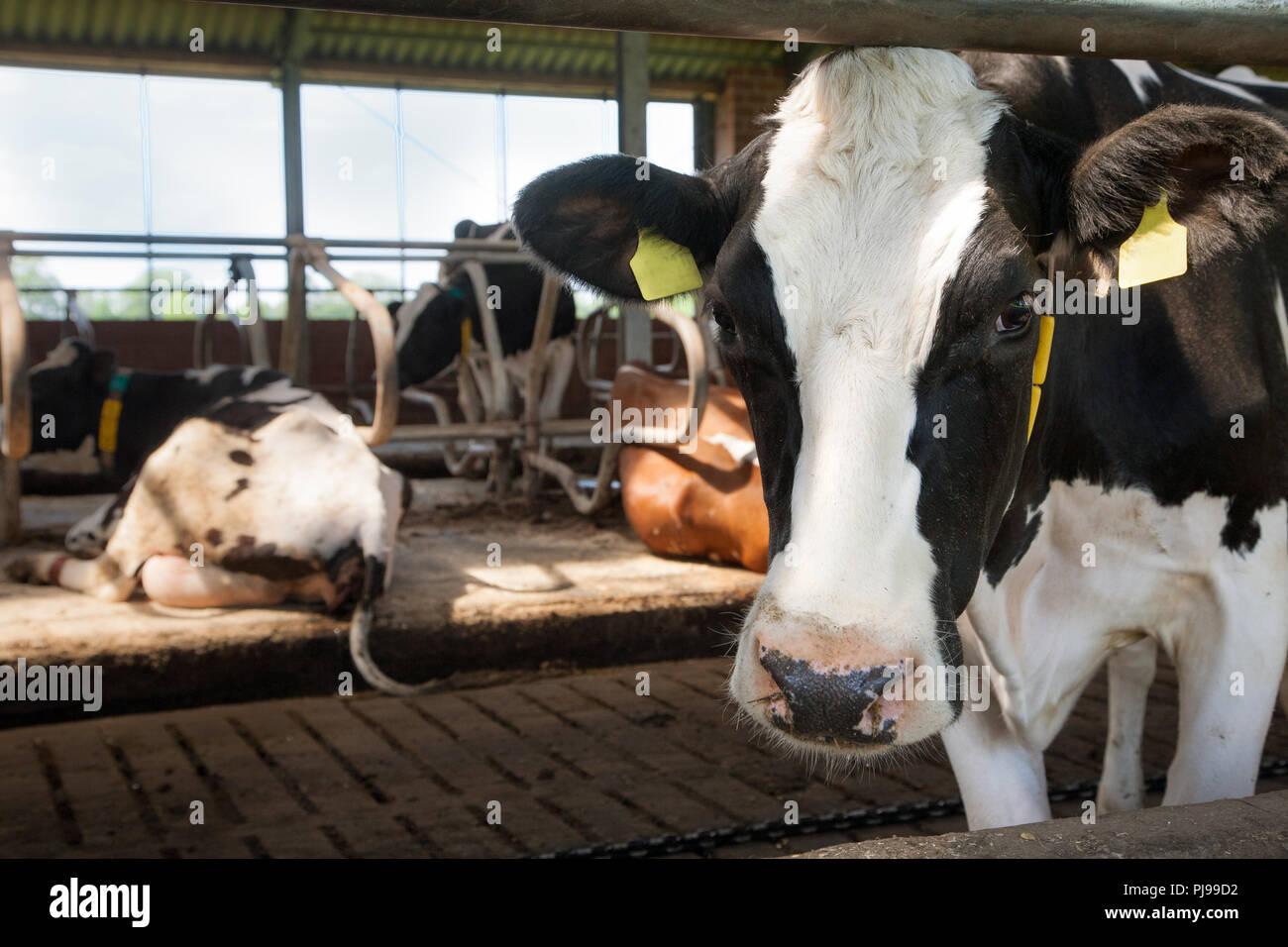 Milchviehstall mit Milchkuh im Vordergrund - Stock Image