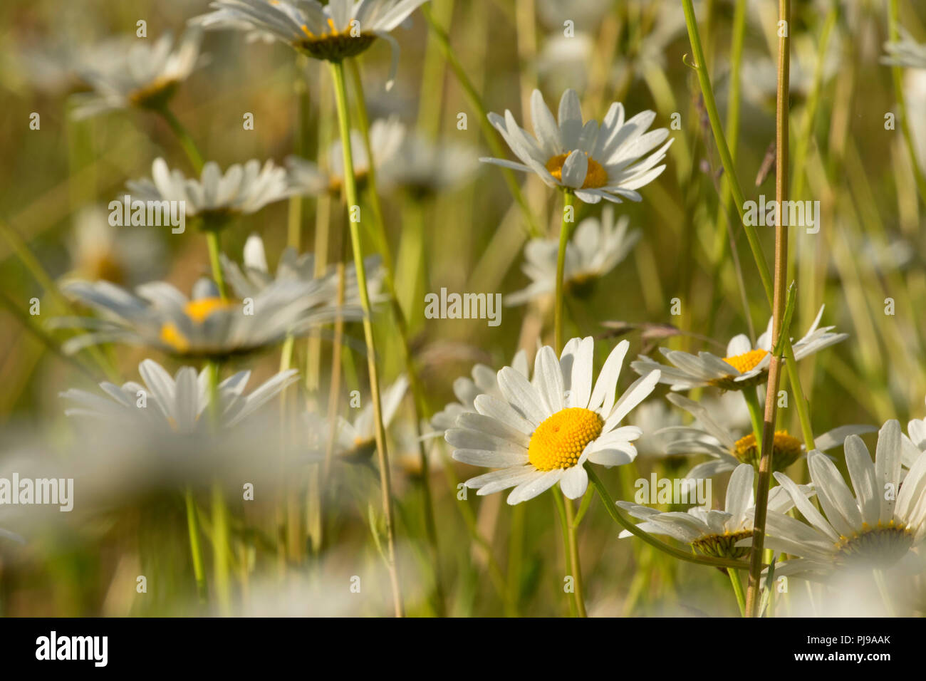 Daisies, Willamette Mission State Park, Oregon - Stock Image