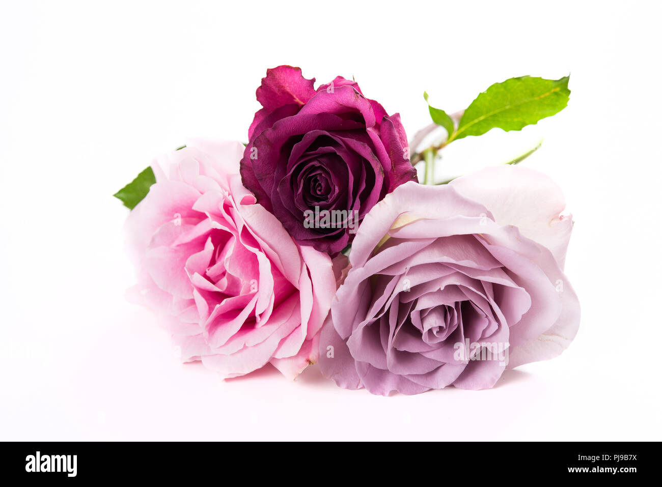 Pink And Purple Roses Isolated On White Background Three Flowers