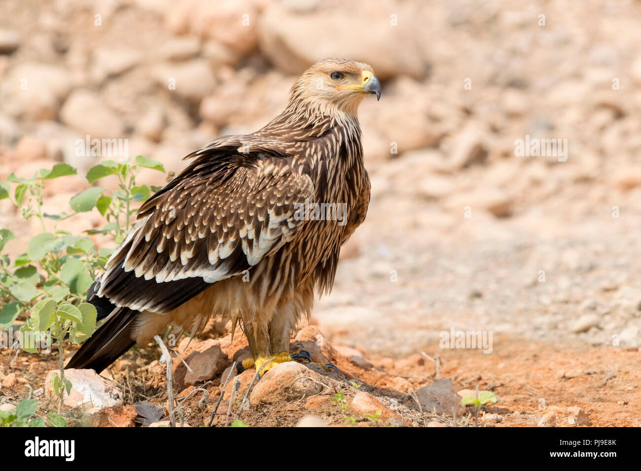 Eastern Imperial Eagle (Aquila heliaca), juvenile standing on the ground - Stock Image