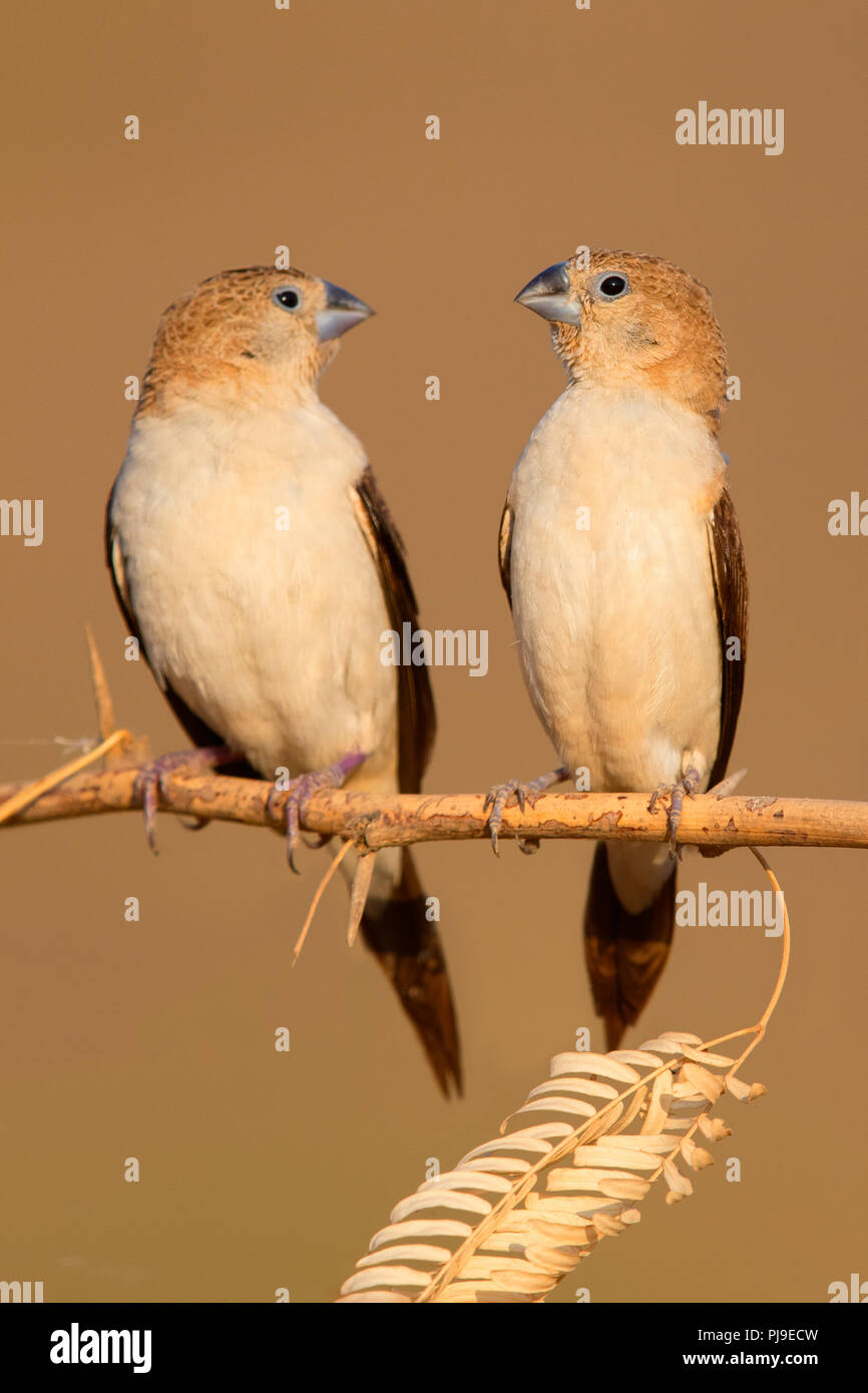 African Silverbill (Euodice cantans), two individuals perched on a branch - Stock Image