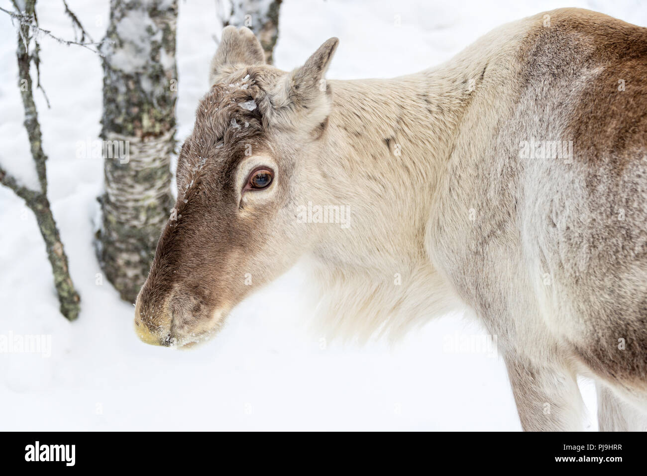 Young reindeer in the forest in winter, Lapland, Finland - Stock Image