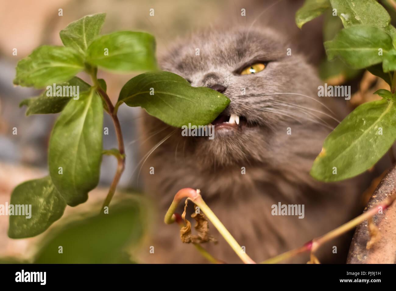 Munchkin Cat - Stock Image