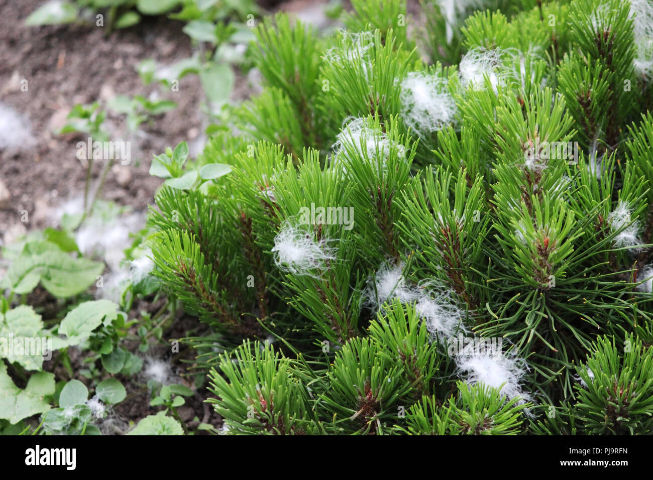artificial snow in the form of fluff, sprayed from the gun during the shooting of the film and stuck in a young pine tree - Stock Image
