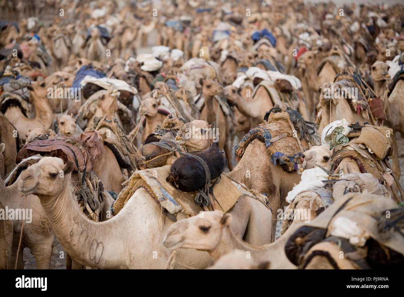 A camel caravan journeys to the Danakil Depression to collect salt, northern Ethiopia, June 3, 2010. - Stock Image