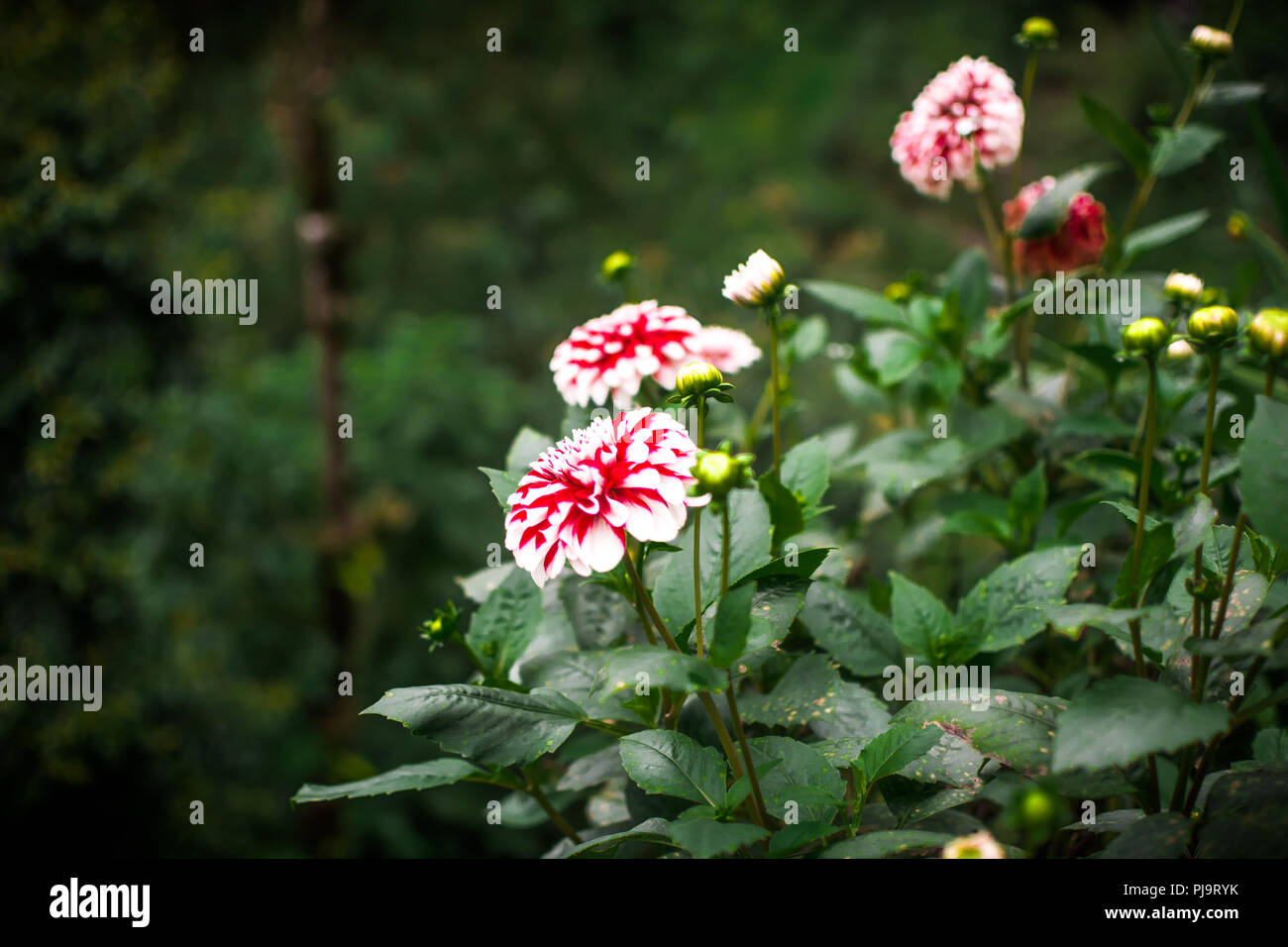Red Dahlias in full bloom - Stock Image
