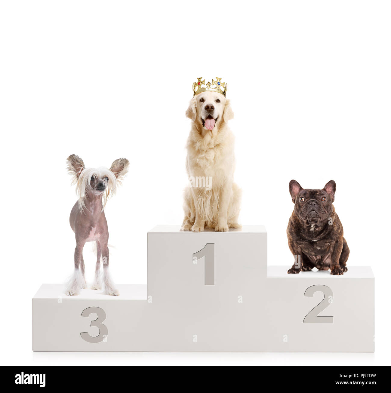 A gold retriever with a crown, chinese crested dog and a bulldog on a winner's podium isolated on white background - Stock Image